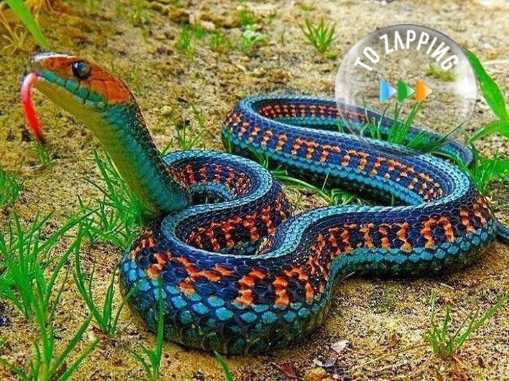 San Francisco garter snake Originaria de California
