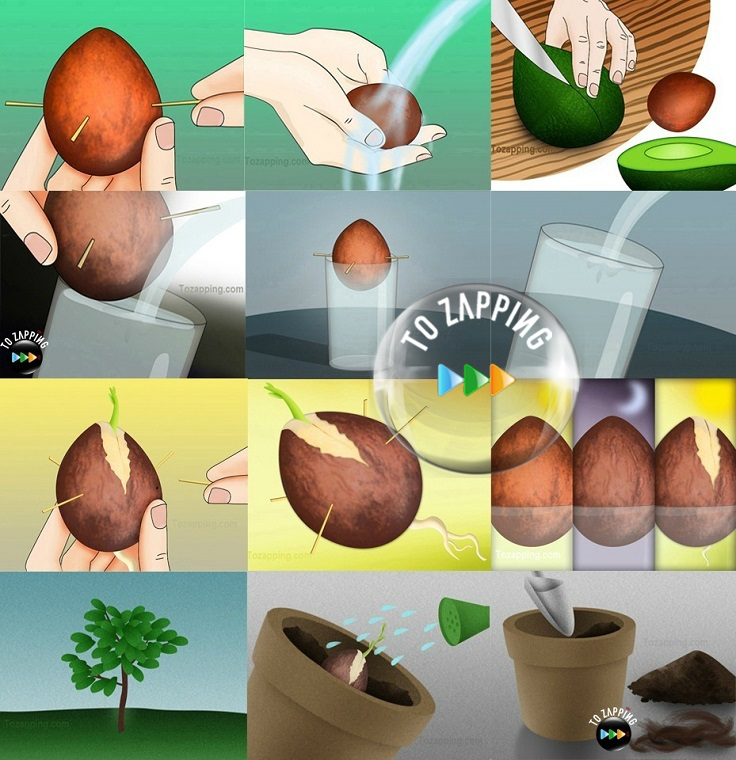 Авокадо Полезные свойства Рецепты Калорийность Как его
