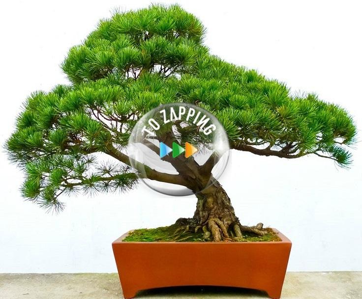 Bonsái a partir de un árbol en estado silvestre