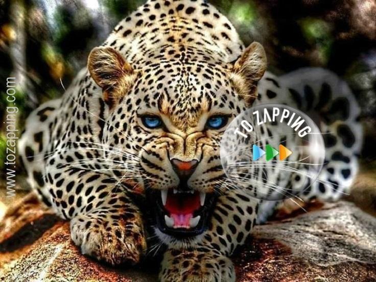 El jaguar, yaguar o yaguareté (Panthera onca)
